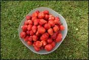 Jordbær rm