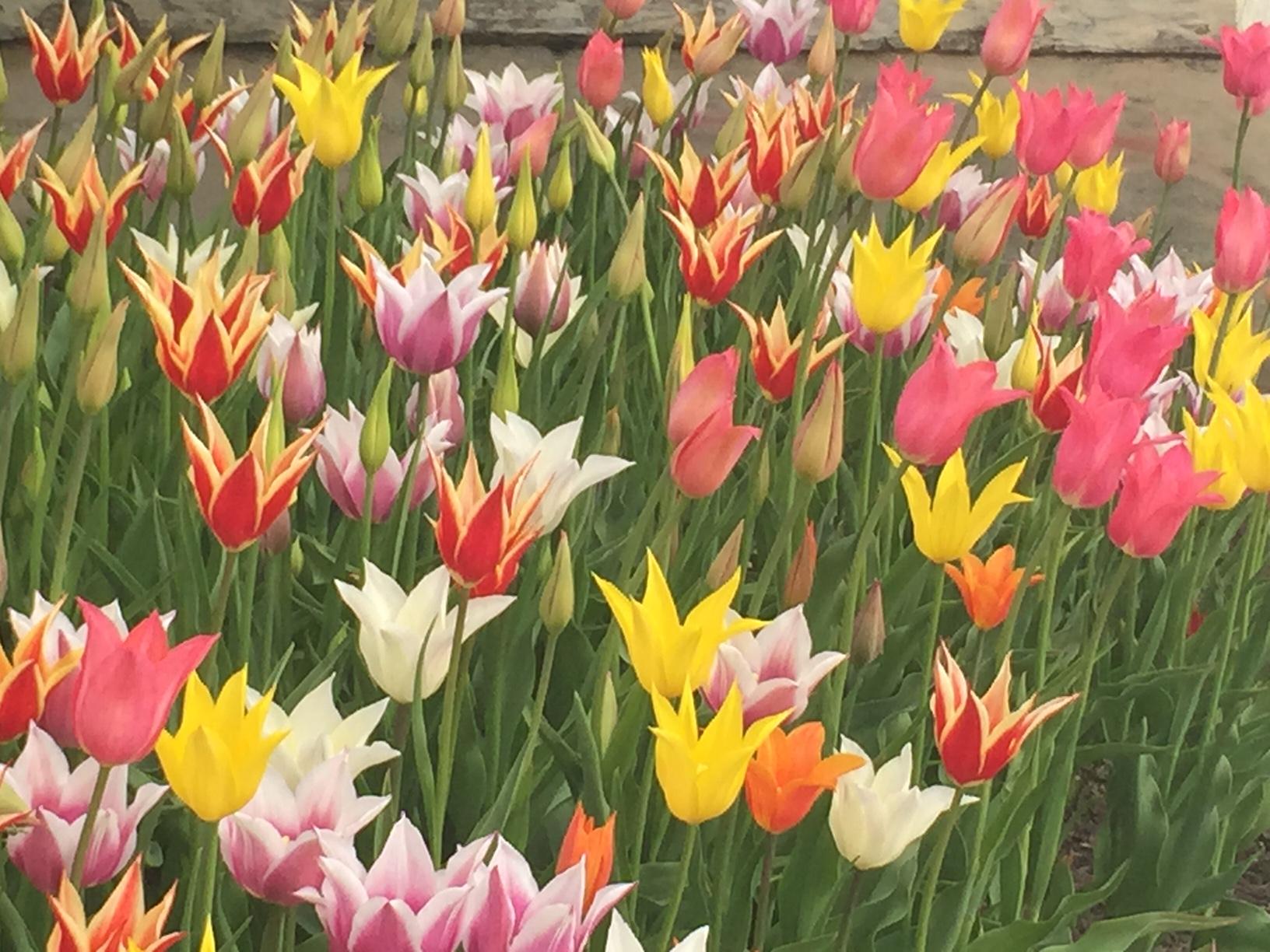 tulipaner ved gamle rådhuset