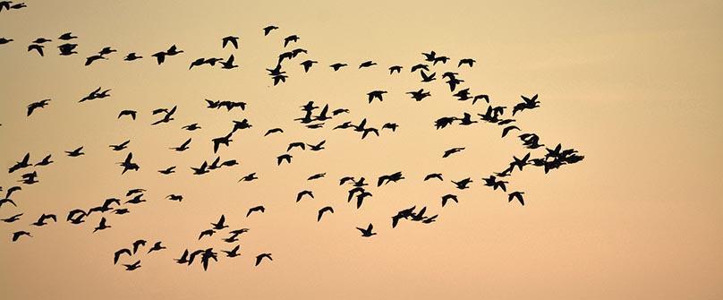 Trekkfuglene