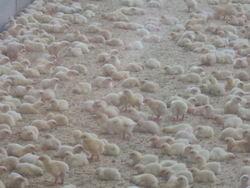 Noen kyllinger