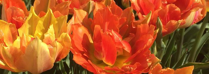 NAV forside tulipaner