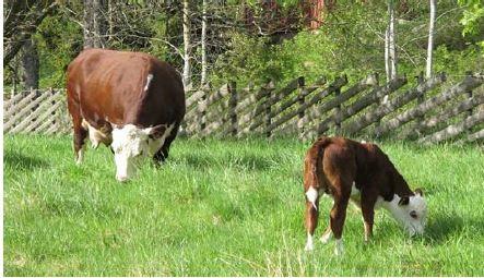 ku og kalv i grønn eng