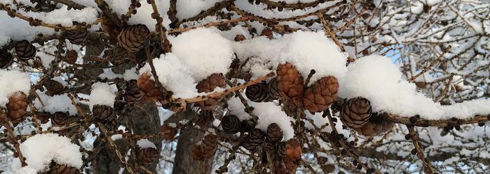 snøfoto med kongler vinter
