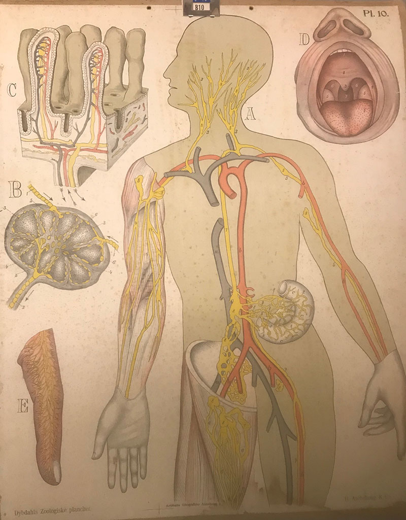 Skoleplansjer - kroppen