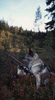 Norsk grå elghund