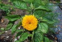 Planting av løk