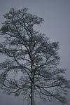 snødekket tre