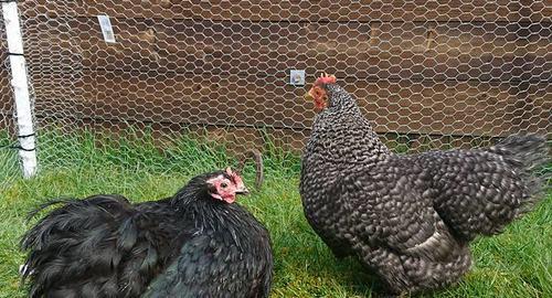Hønene på plass!