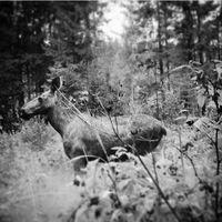 Elg i svart/hvitt