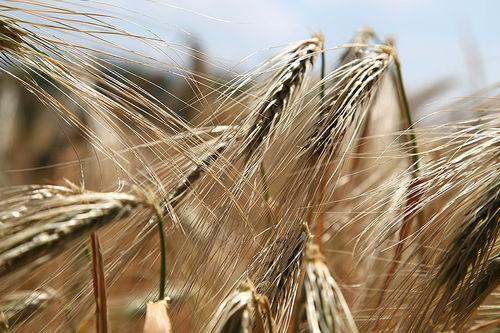 Gluten er et protein som finnes i kornsorter som hvete, rug, spelt og bygg, emmer og enkorn. Foto: Creative Commons/Pixabay.com.