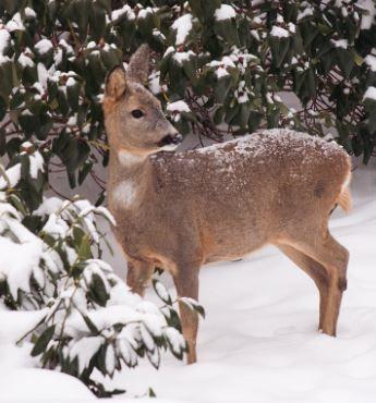 Bilde av et rådyr i snøen