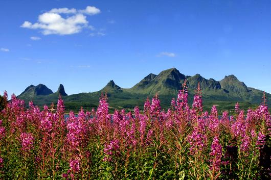 Blomsten geitrams i forgrunnen med fjell i bakgrunnen