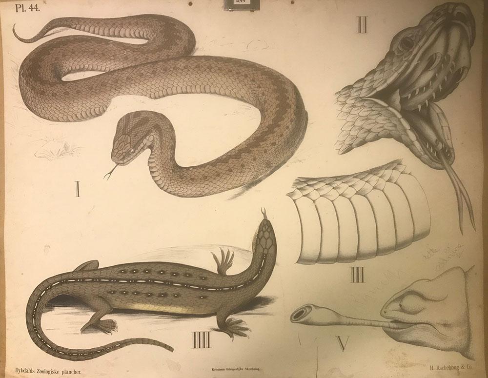 Skoleplansjer - slanger