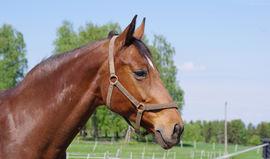 Bilde av hest på beite.