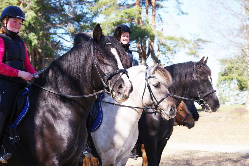 De tre nasjonale hesterasene dølahest, fjordhest og nordlandshest/lyngshest (bildet), får også med seg den fjerde av de nasjonale rasene, norsk kaldblodstraver, i den reviderte handlingsplanen.