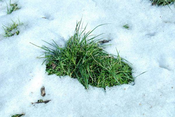 Gress og snø
