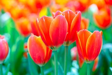 bsTulip-Garden292583644-360