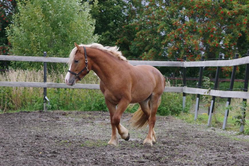 Berje Modig er en av hestene som deltar i Prosjekt Kvalitetshest, og som kommer for salg om kort tid.