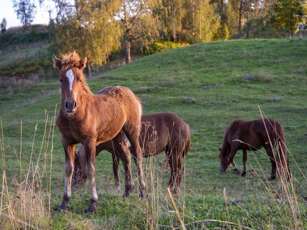 Starums Tora på beite i høstsol, sammen med mamma Starums Lava og tante Starums Luna.
