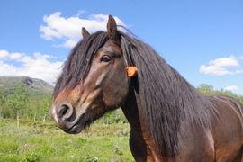 Stjerne Gut bedekte ni hopper i Sikkilsdalen i sommer.