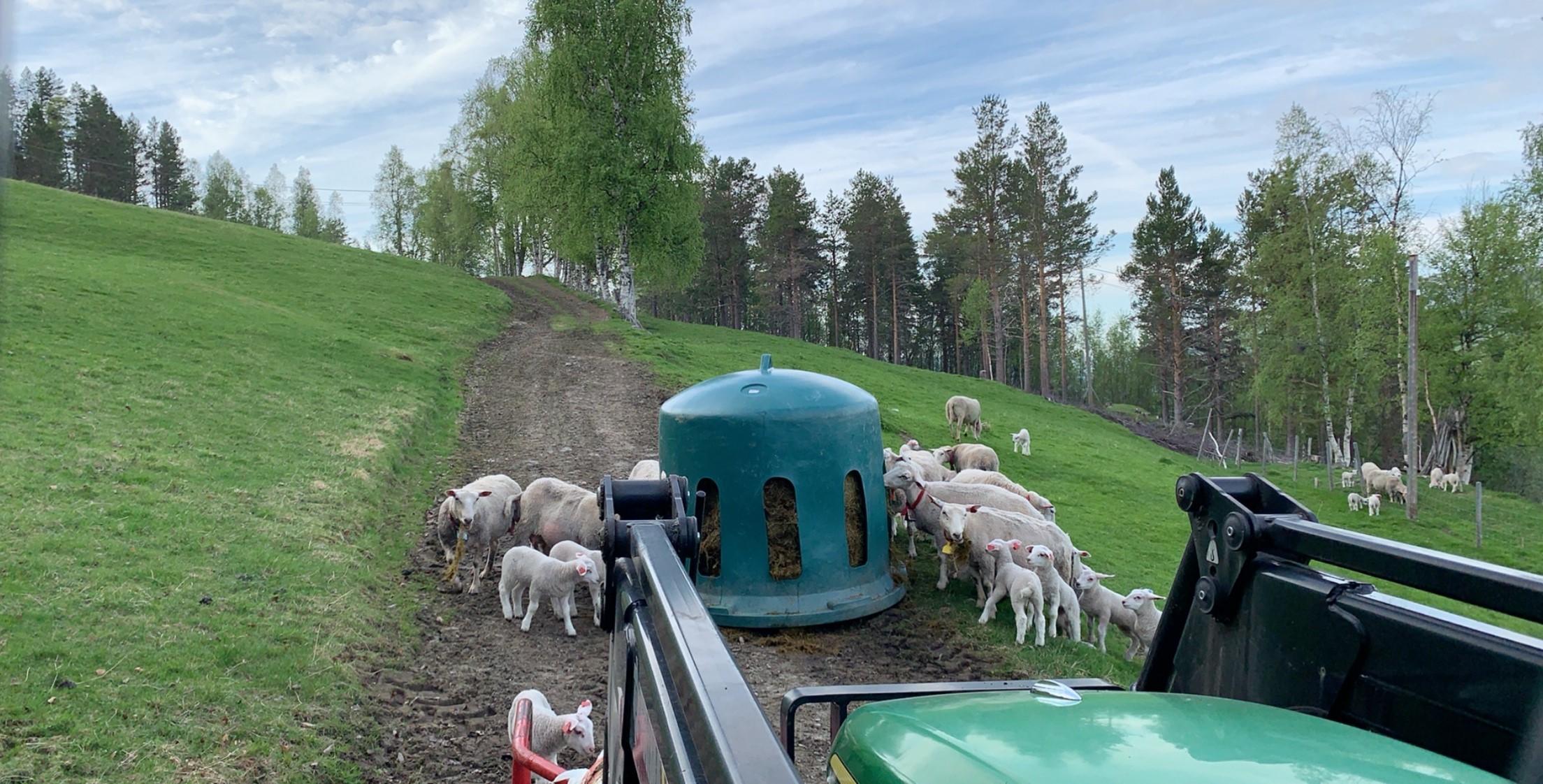 mat til lammene