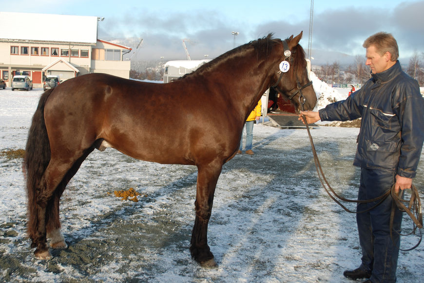 Bork Odin under kåringa i 2008, da hingsten var tre år.