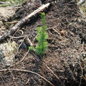 Skogplante