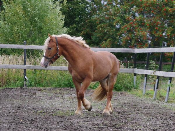 Berje Modig deltok i Prosjekt Kvalitetshest i 2019, og ble solgt etter endt utdanningsopphold på Norsk Hestesenter.