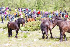 Morka Bron hilser på damene sine for første gang (Prinsehamna i 2018). Det er viktig at hestene er merket godt, slik som nummer 18 på bildet.