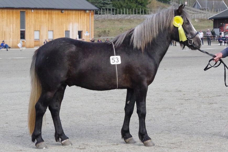 Nordlandshest/lyngshesten Forbrigds Rubin er gentestet for sølv (PMEL), og er ikke bærer. Dette framkommer nå når du søker opp hesten i systemet.