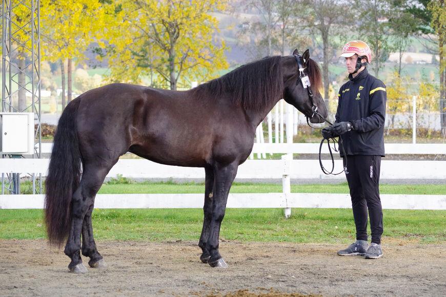 Grisle Odin G.L. ble både kåret, dagens hest og stilt som I i kvalitet under høstens kaldblodskåring på Biri.