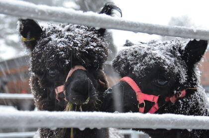 Bildet viser to av alpakkaene som besøkte JORS i 2019