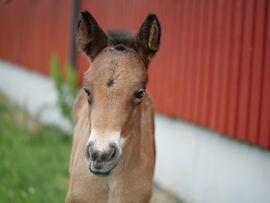 Sommerens første dølahestføll på Norsk Hestesenter har fått navnet Starums Lunalill. Her er hun to dager gammel.