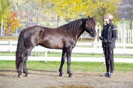 Grisle Odin G.L. ble både kåret, dagens hest og stilt som I i kvalitet under fjorårets kaldblodskåring på Biri.